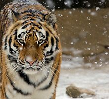 Tiger Snow by Bobby McLeod