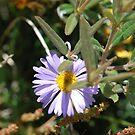 Purple Daisy, Brachyscome Multifida.  Mt Buffalo  by Lozzar Flowers & Art