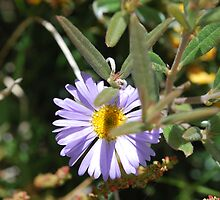 Purple Daisy, Brachyscome Multifida.  Mt Buffalo  by Lozzar Flowers & Art