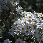 Brachyscome Multifida white form.  Mt Buffalo  by Lozzar Flowers &amp; Art