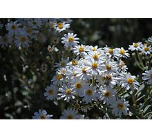 Brachyscome Multifida white form.  Mt Buffalo  Photographic Print