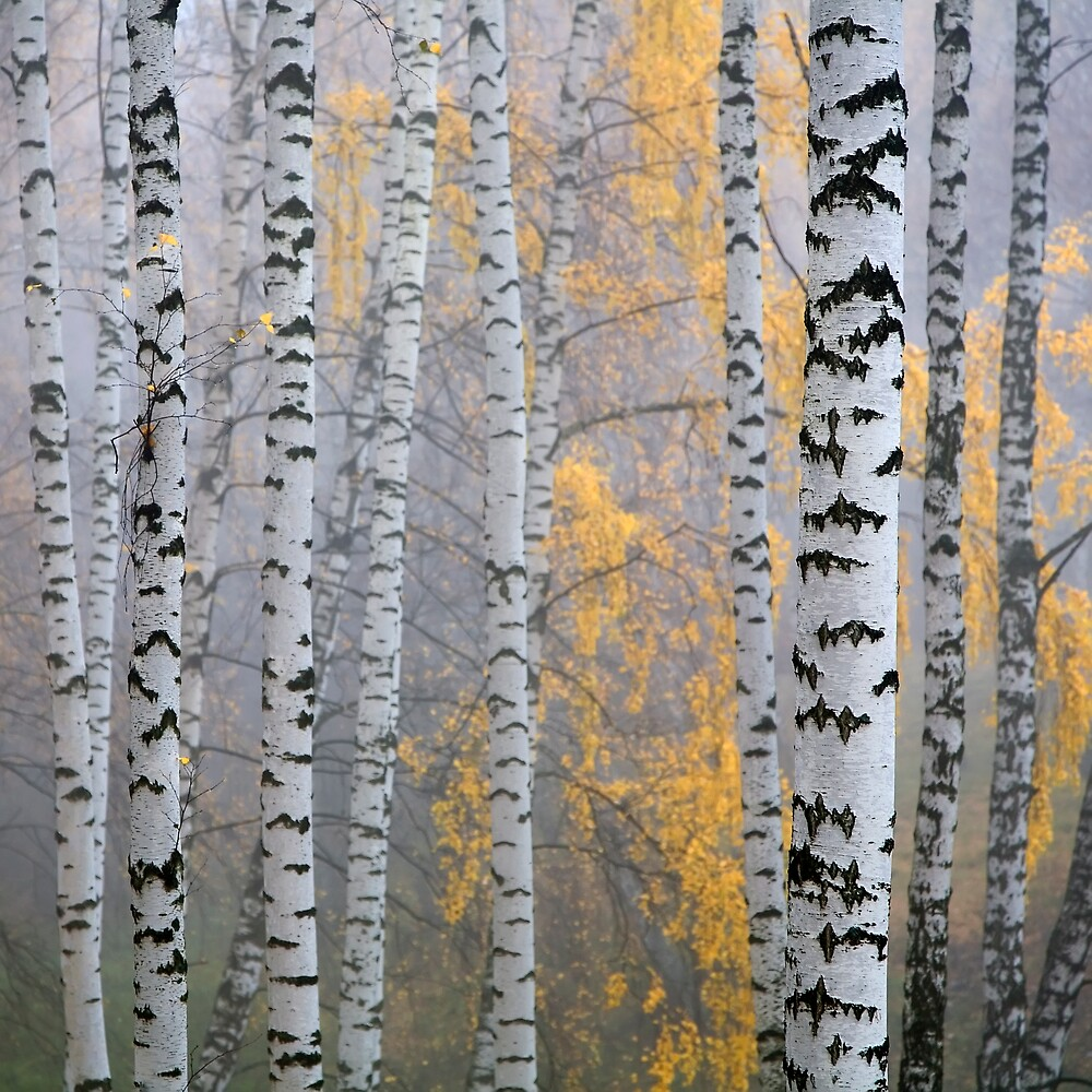 birch forest by vkph