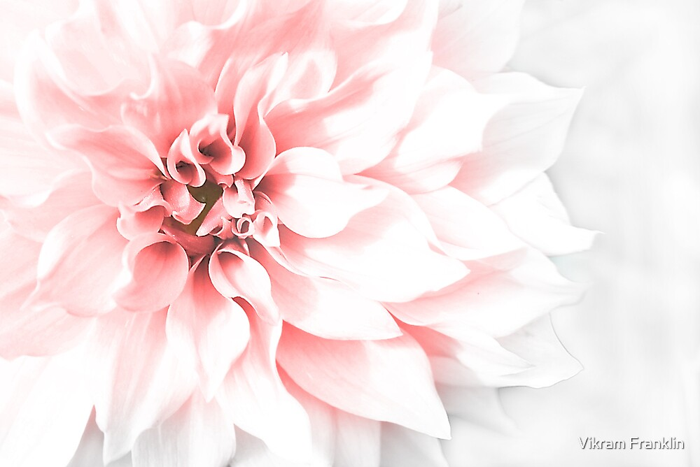 Fade to pink by Vikram Franklin