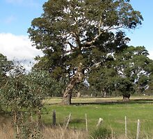 Gum tree near Penshurst with typical scrappy wire fence by NezWez