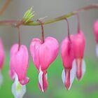 Bleeding Hearts by johnord