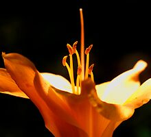 orange lily by Sol Whiteley