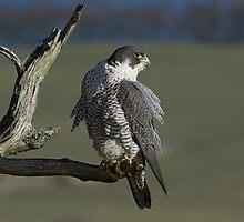 Peregrine Falcon by wildlifephoto