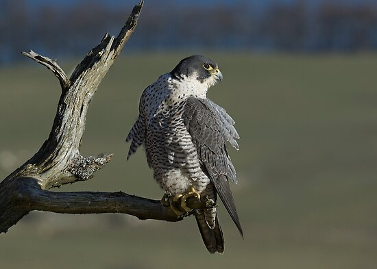 Peregrine Falcon by wildlifephoto
