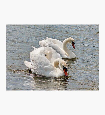 Mr & Mrs Swan Photographic Print