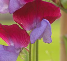 Sweet Pea by Robert G Robson