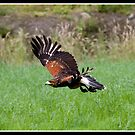 Harris hawk in flight by Shaun Whiteman
