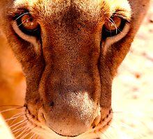 Lioness by Kristian Schmidt
