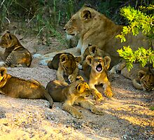 Lion Pride by Kristian Schmidt