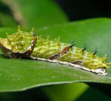 Orchard Swallowtail Caterpillar by Andrew Trevor-Jones