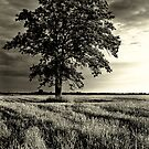 Tree in Field by Theodore Black