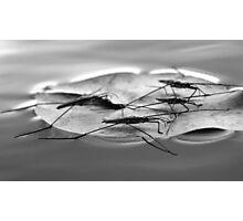 Pondskaters in the Okavango Delta Photographic Print