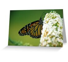 Monarch on White Butterfly Bush Greeting Card