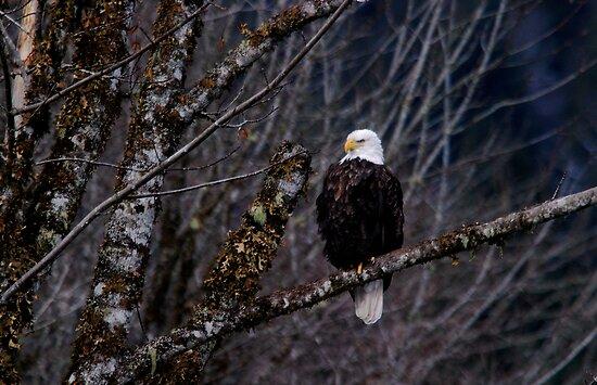 Bold Eagle by Olga Zvereva