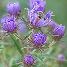 Sleeping In My Asters by Thomas Young