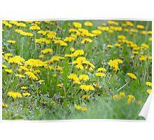 Yellow Dandelion Field Poster