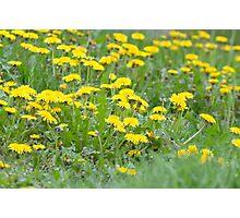 Yellow Dandelion Field Photographic Print