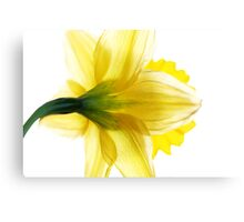 Sun Soaked Daffodil Canvas Print