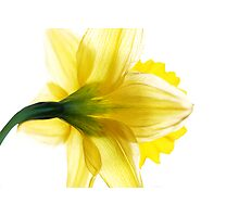 Sun Soaked Daffodil Photographic Print