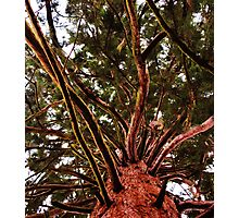 Red Wood Tree Photographic Print