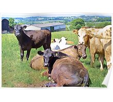 Curious cattle Poster