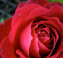 Red Rose by sleza69