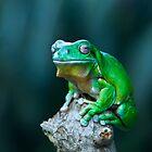 Green tree frog by Robert Sturman
