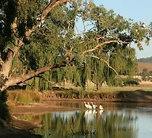pelicans on the billabong by julie anne  grattan