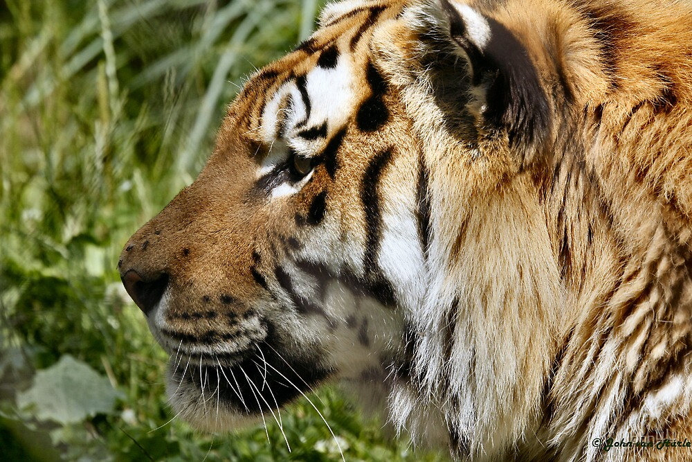 A Tiger in Canada © by John44