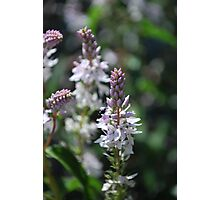 Derwent Speedwell.  Mt Buffalo  Photographic Print