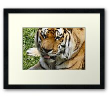 © Tigers in canada Framed Print
