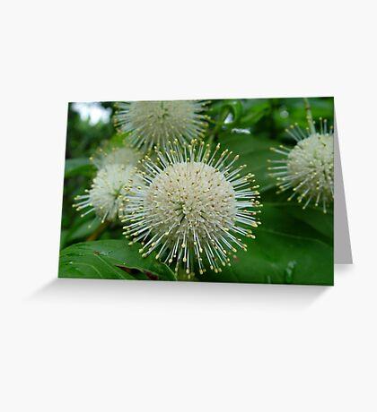 Buttonbush Greeting Card