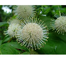 Buttonbush Photographic Print