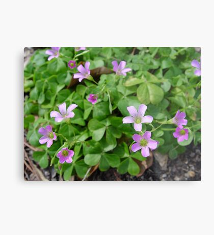 Wood Sorrel Metal Print