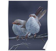 Fairy Wrens Poster