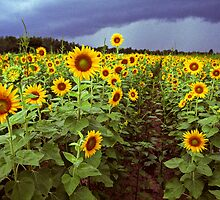 sunflowers by J.K. York