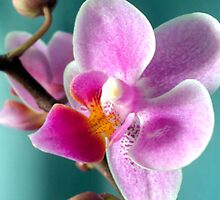 Orchid by Carmen Taylor
