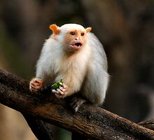 Silvery Marmoset by Sheila Smith