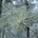 Frosty Pine Branch - 1 by Paul Gitto