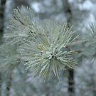 Frosty Pine Branch - 1 by Paul Gitto