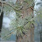 Frosty Pine Branch - 2  by Paul Gitto