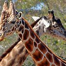 Two Giraffes by T.J. Martin