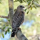 Red Shouldered Hawk by Jeff Ore