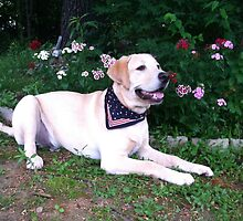 yellow lab,2 by labsrule72