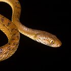 Brown tree snake Boiga irregularis close up  by Nephrurus
