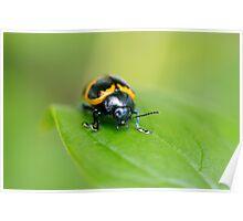 Swamp Milkweed Beetle Poster